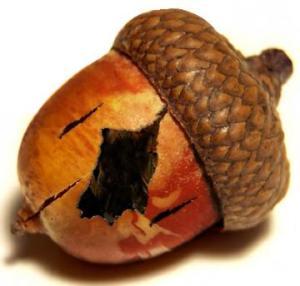 acorn_rotten-360x344